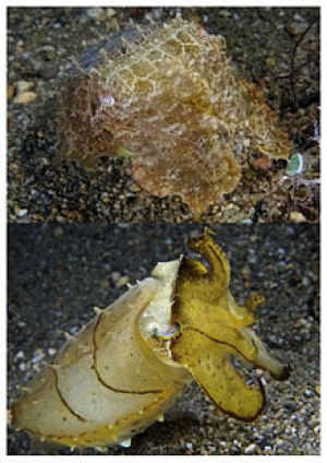 The broadclub cuttlefish can change from camouflage color and textures (top) to a different appearance (bottom) in a blink. By Nick Hobgood - Own work, CC BY-SA 3.0, https://commons.wikimedia.org/w/index.php?curid=4609037